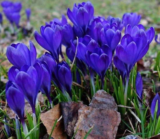 Крокусы в саду фото