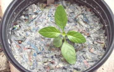 Кроссандра из семян фото рассады