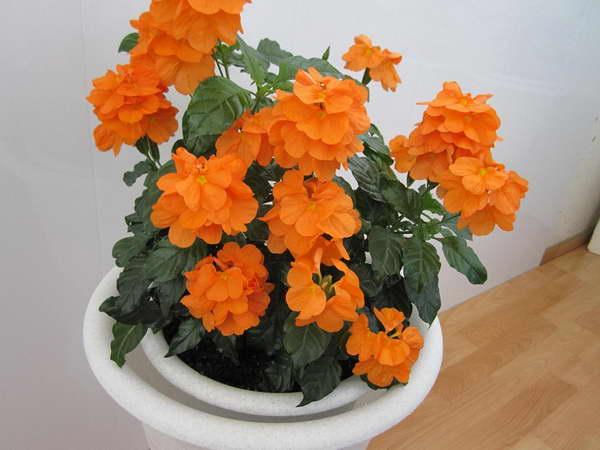 Кроссандра уход и выращивание в домашних условиях фото