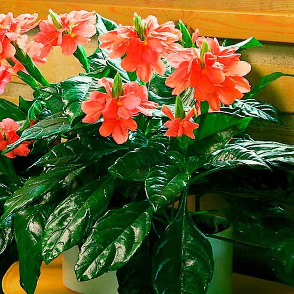 Кроссандра воронковидная Crossandra Infundibuliformis фото