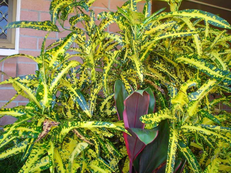 Кротон Голд фингер Codiaeum variegatum Gold Finger фото