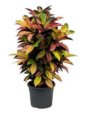 Кротон миссис Айстон Croton codiaeum iceton фото