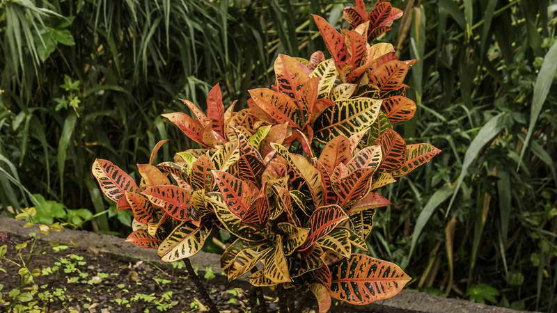 Кротон пестрый или вариегатум Codiaeum variegatum фото