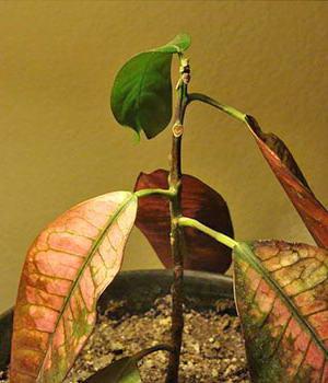 Кротон сохнут листья что делать фото