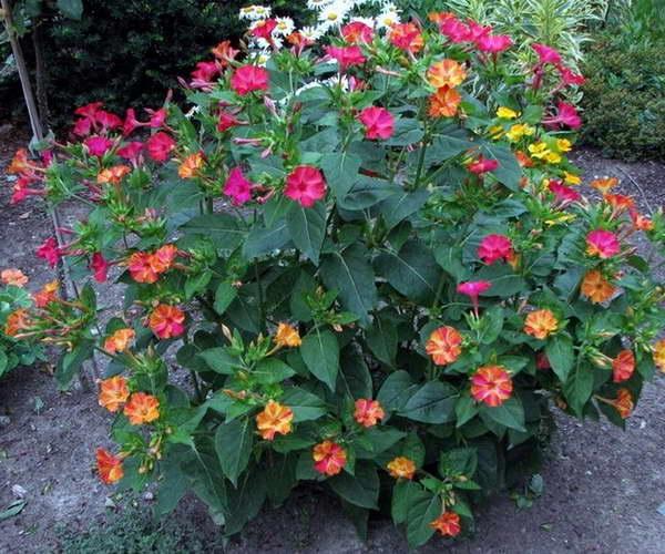 Куда посадить мирабилис фото в саду