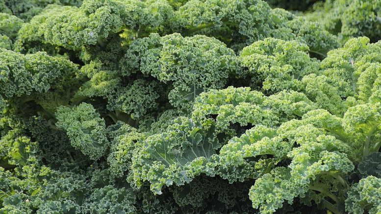 Кудрявая листовая капуста кале выращивание из семян и уход Фото сортов