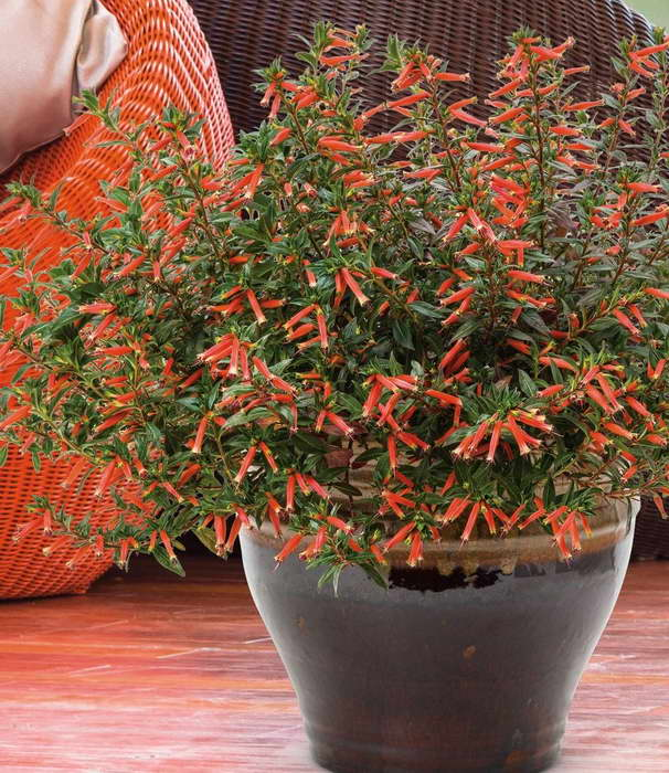 Куфея уход в домашних условиях Выращивание и размножение