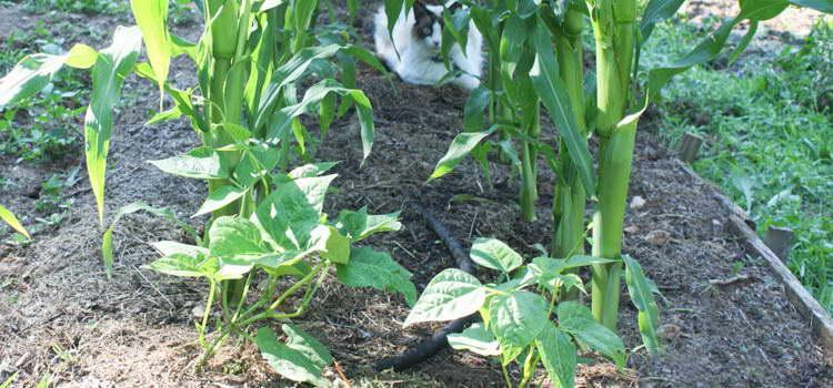 Кукуруза с фасолью посадка и уход фото