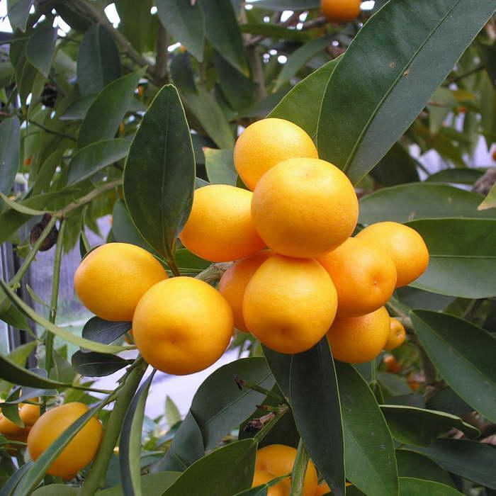 Кумкват Малайский Malayan Kumquat фото
