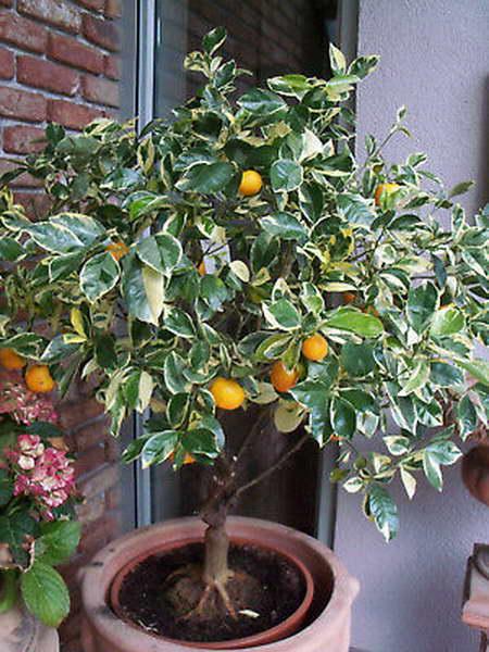 Кумкват пестролистный Fortunella margarita variegata фото