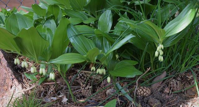 Купена широколистная Polygonatum hirtum фото