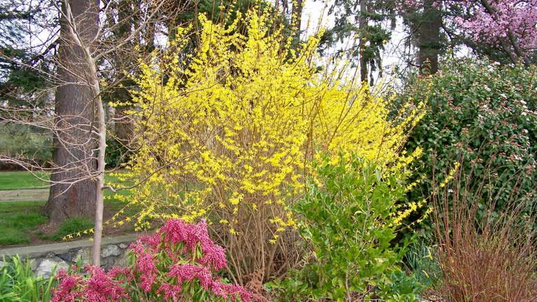 Куст форзиция с желтыми цветами Как размножить и укрыть форзицию фото