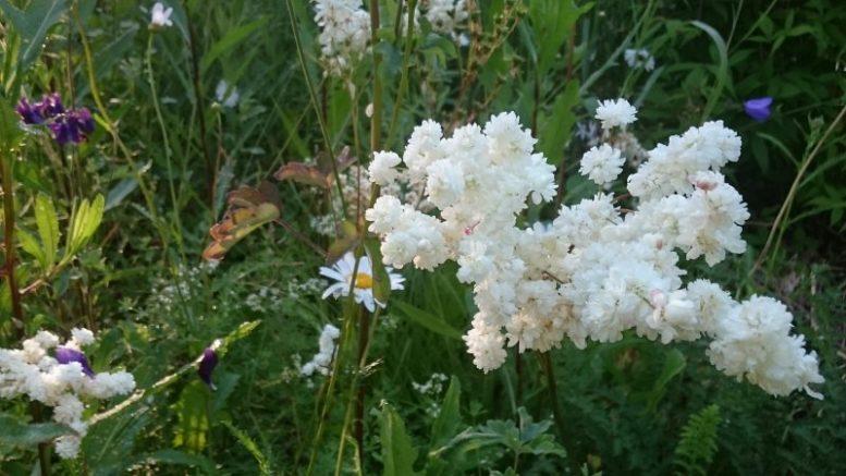 Лабазник или таволга посадка и уход в открытом грунте Filipendula vulgaris 'Plena'