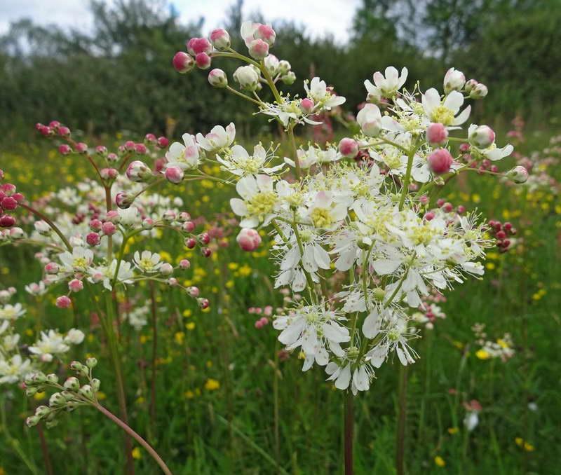 Лабазник обыкновенный Filipendula vulgaris или шестилепестный Filipendula hexapetala фото