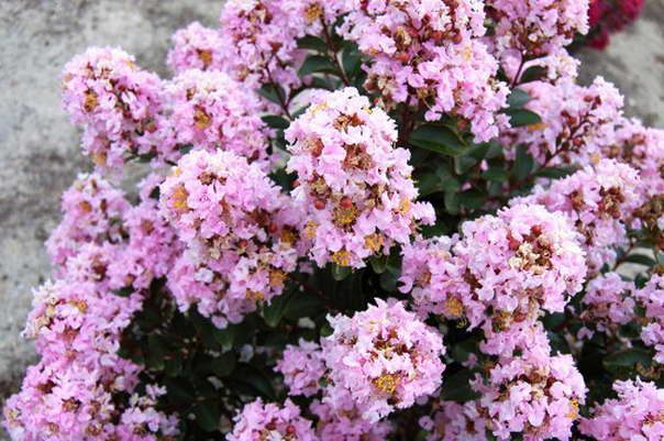 Лагерстремия сорт Light pink фото