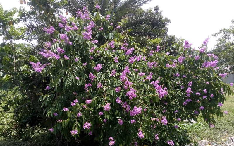 Лагестремия специоза, королевский креп-мирт, банабовое дерево Lagerstroemia speciosa фото