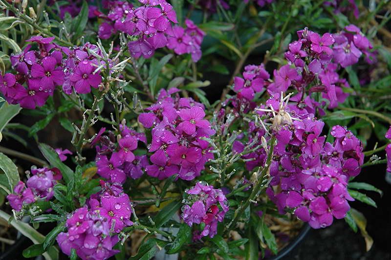 Лакфиоль фиолетовая сорт 'Poem Lilac' фото