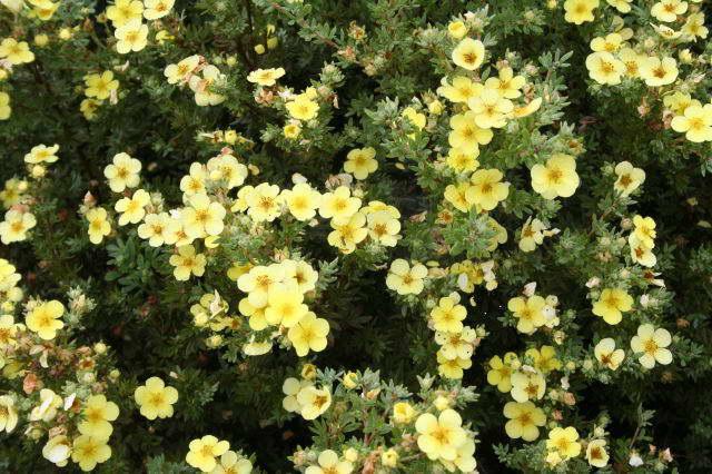 Лапчатка кустарниковая Катерина Дайкс potentilla fruticosa Katherine Dykes фото