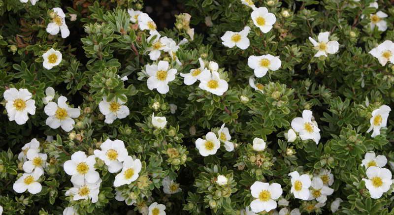 Лапчатка кустарниковая белая сорт Potentilla fruticosa 'Tilford Cream' фото