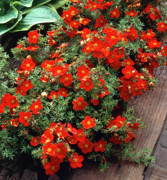 Лапчатка кустарниковая potentilla fruticosa уход и выращивание из семян