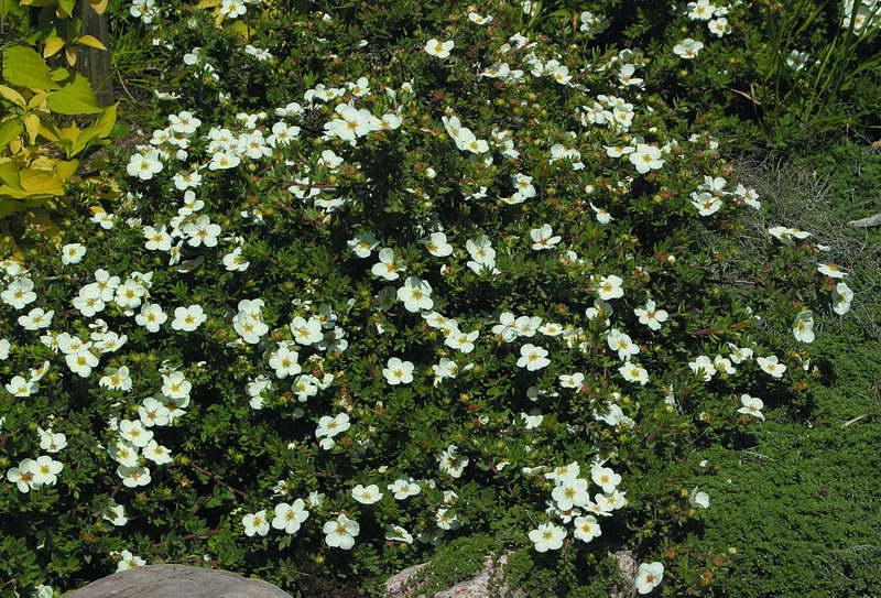 Лапчатка кустарниковая сорт potentilla fruticosa Eastleigh Cream фото