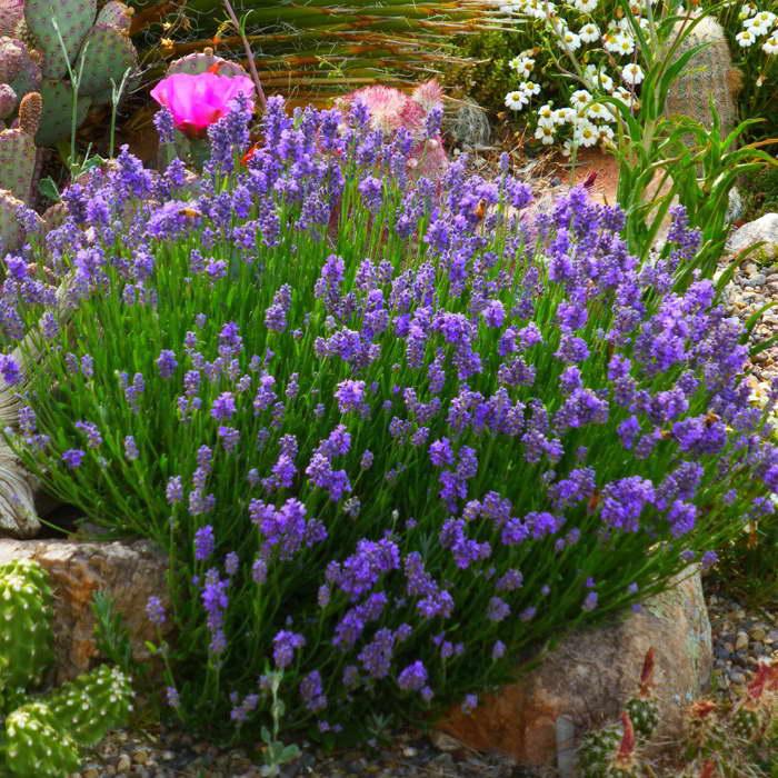 Лаванда английская English lavender фото
