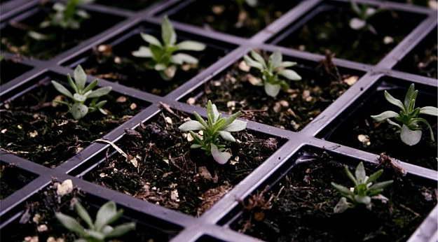 Лаванда из семян фото всходов
