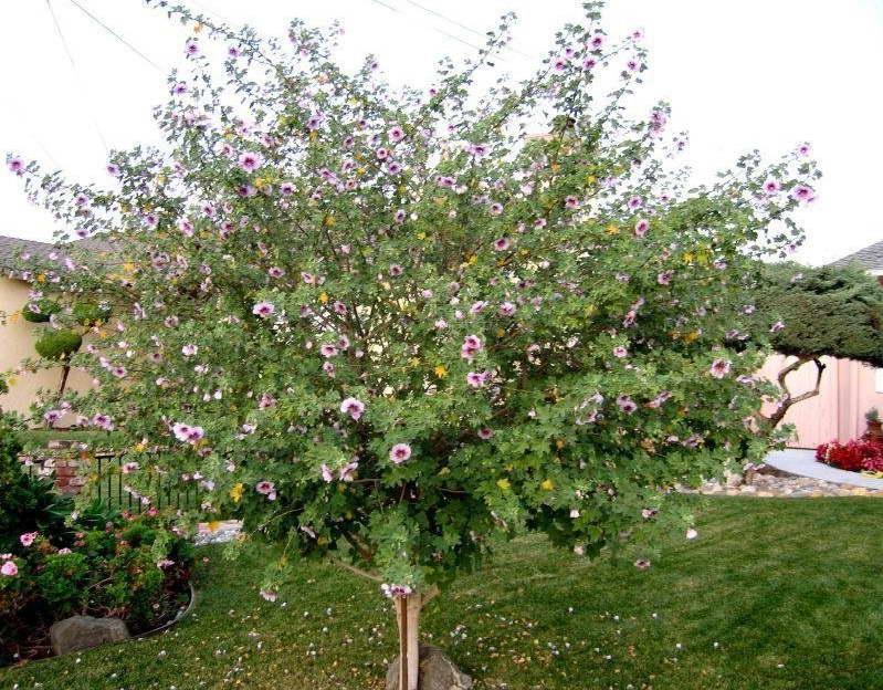 Лаватера древовидная Lavatera arborea фото