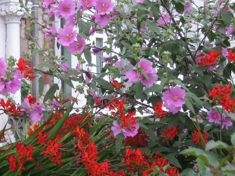Лаватера и крокосмия на клумбе фото цветов