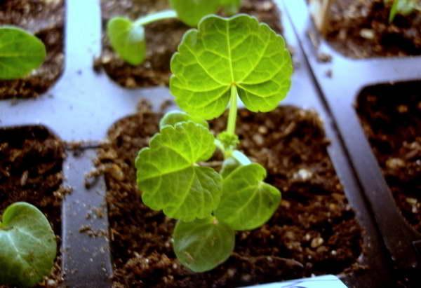 Лаватера из семян лучше развивается в отдельных стаканчиках фото