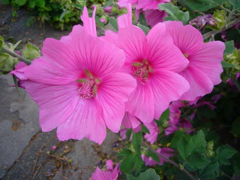 Лаватера тюрингенская или Хатьма тюрингерская, Собачья роза Lavatera thuringiaca фото