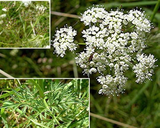 Лечебные свойства тмина фото растения