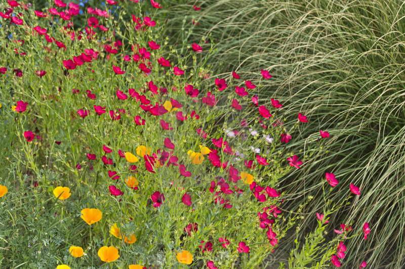 Лен многолетний выращивание из семян