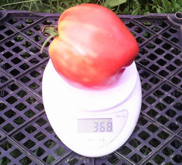 Лентяйка томат отзывы фото достоинства недостатки