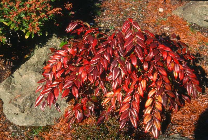 Леукотоэ в саду осенью фото