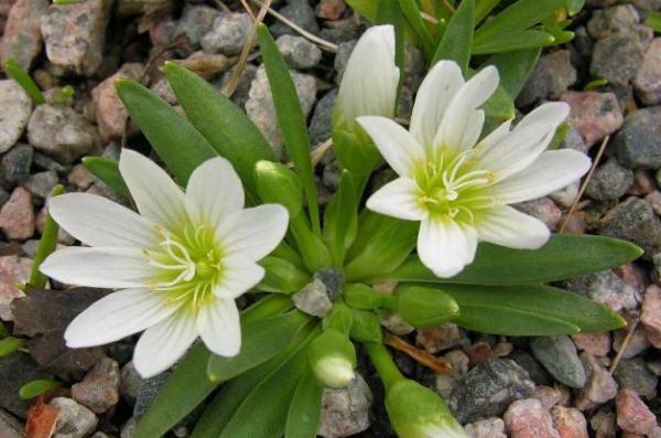 Левизия невадская lewisia nevadensis