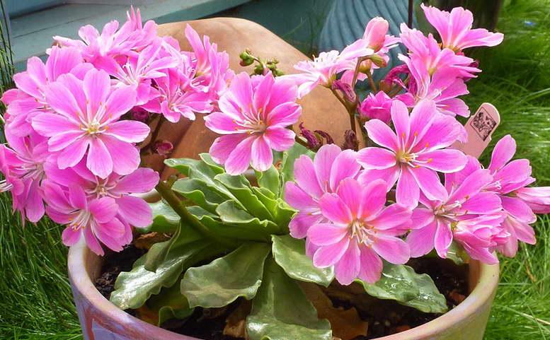 Левизия розовые тени фото
