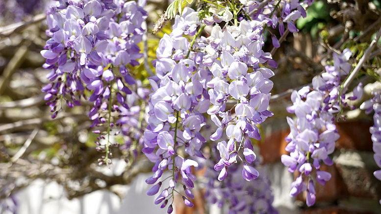 Лианы многолетние для сада названия и фото цветов