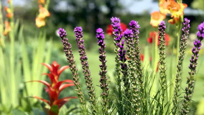Лиатрис фото цветов в клумбе вместе с бромелией и лилейниками