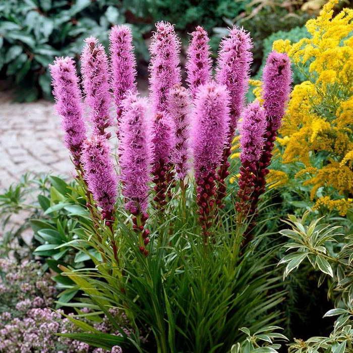Лиатрис колосистый Флористан Виолет Liatris spicata 'Floristan Violett' фото сорта
