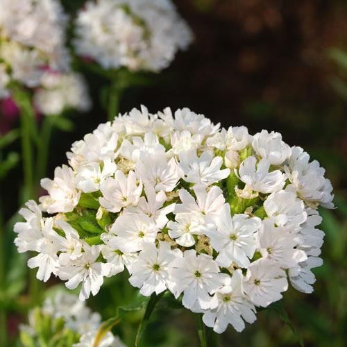 Лихнис альбифлора Lychnis albiflora