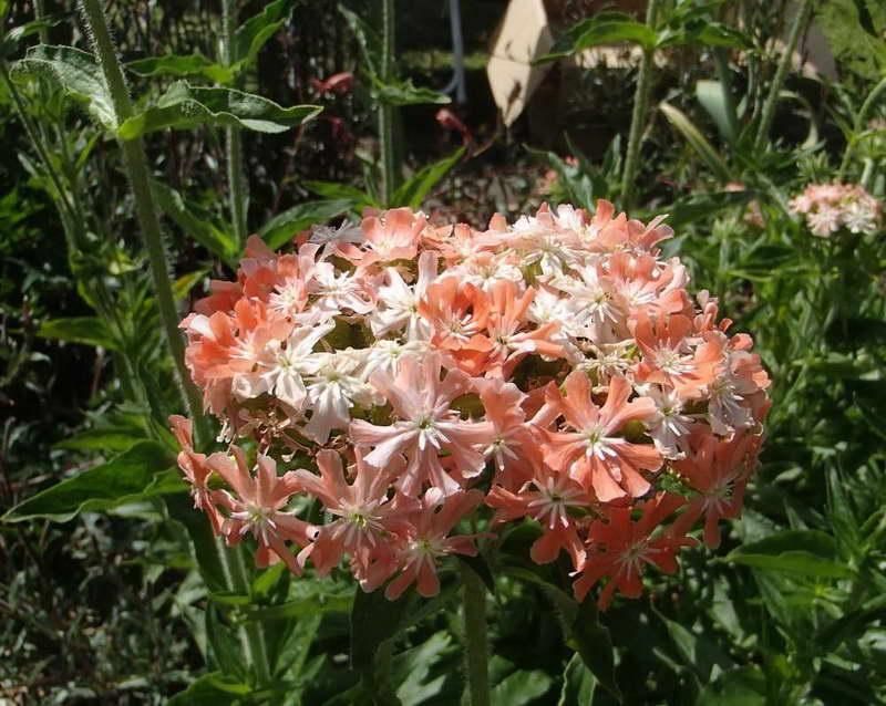 Лихнис коралловый сорт Карнея Lychnis chalcedonica 'Carnea' фото в саду