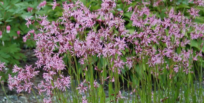 Лихнис кукушкин цвет он же Горицвет кукушкин Сoronaria flos-cuculi Lychnis flos-cuculi фото