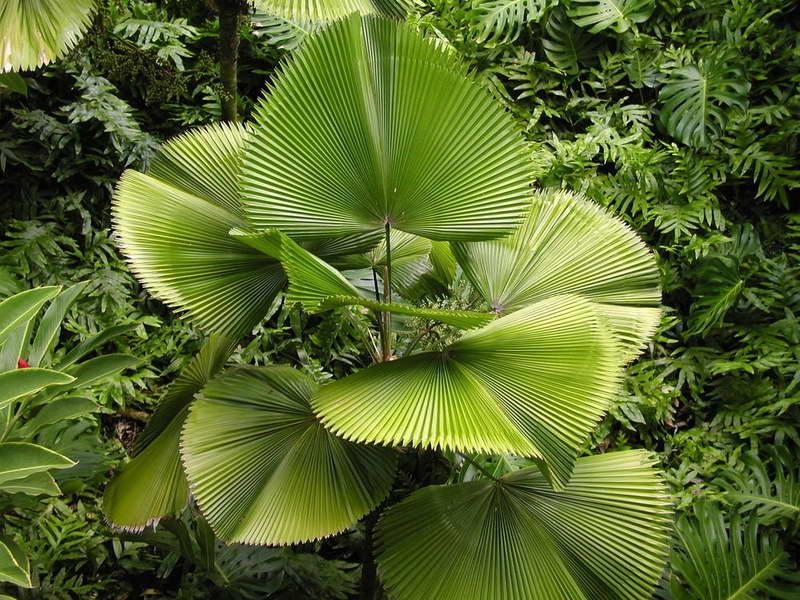Ликуала большая или крупная Licuala grandis фото