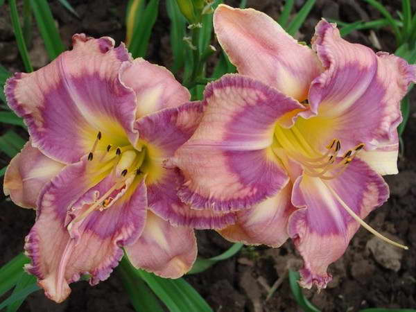Лилейник Милдред Митчелл Hemerocallis Mildred Mitchell фото