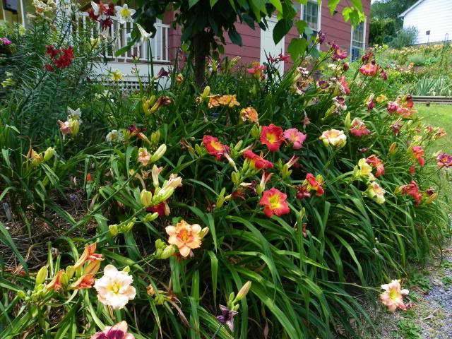 Лилейник фото в саду на клумбе
