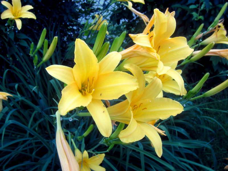 Лилейник лимонно-желтый Hemerocallis citrine сорт baroni фото