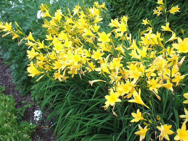 Лилейник желтый Hemerocallis flava фото