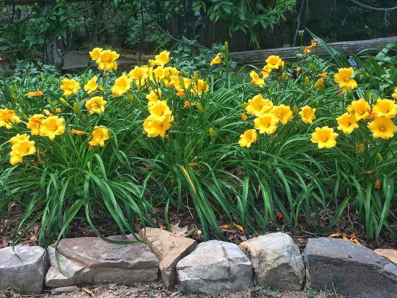 Лилейники в саду фото