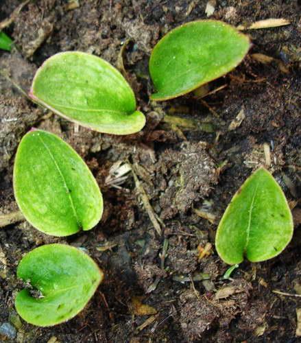 Лилия мартагон из семян в открытом грунте фото всходов